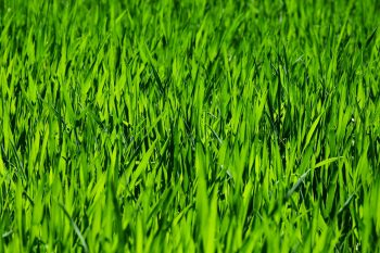 Green Healthy Lawn